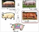 CLICK for some Japanese Pigs 