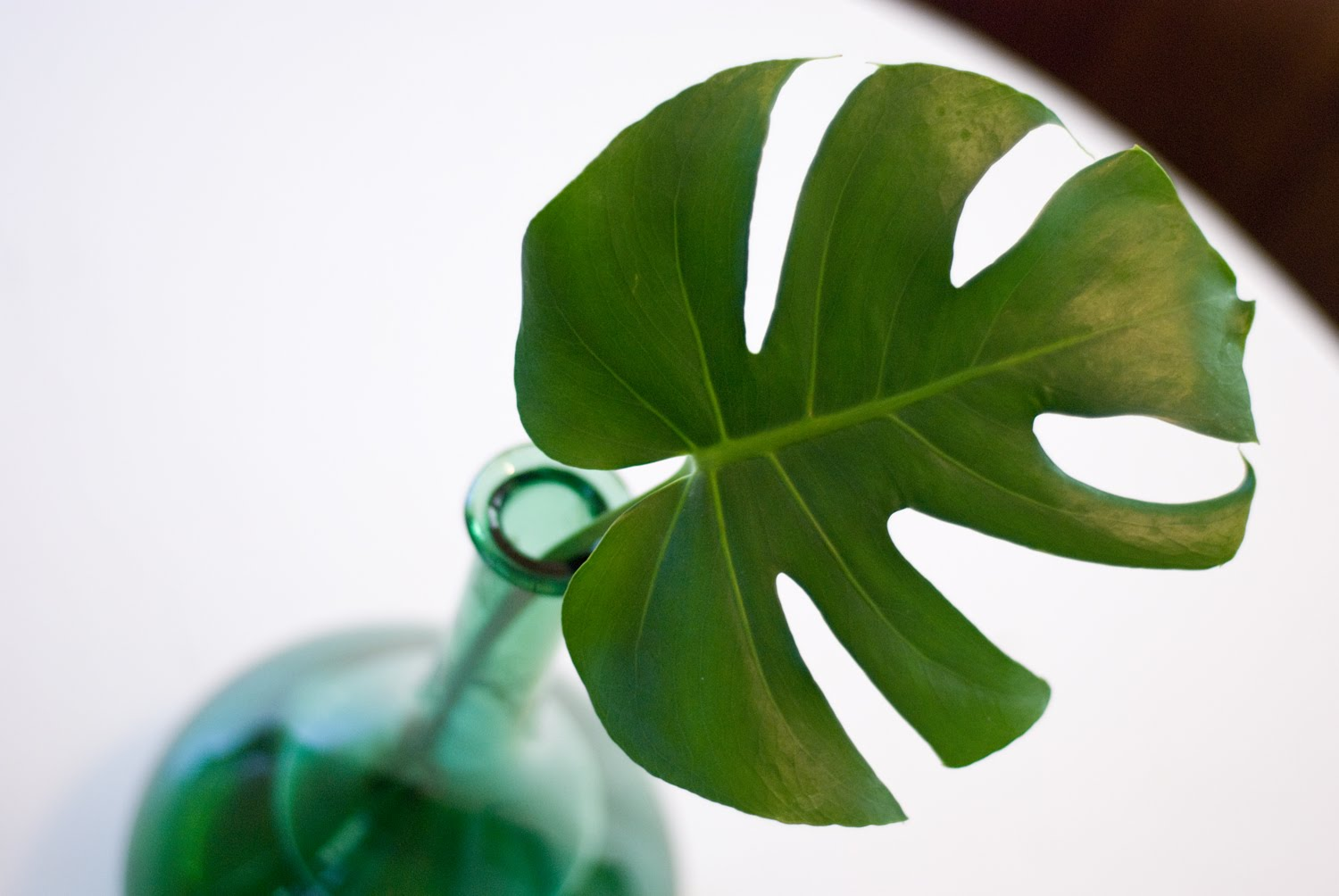 Philodendron4.2