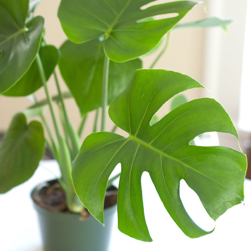 my new split leaf philodendron plant