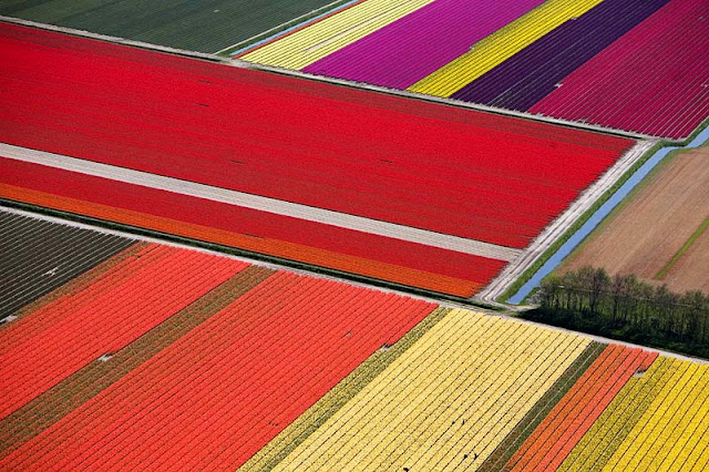 Dutch tulip field 3