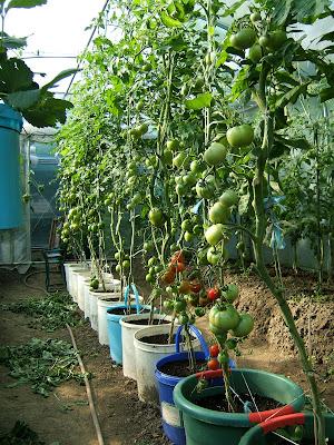 passion tomates les tomates en pot. Black Bedroom Furniture Sets. Home Design Ideas