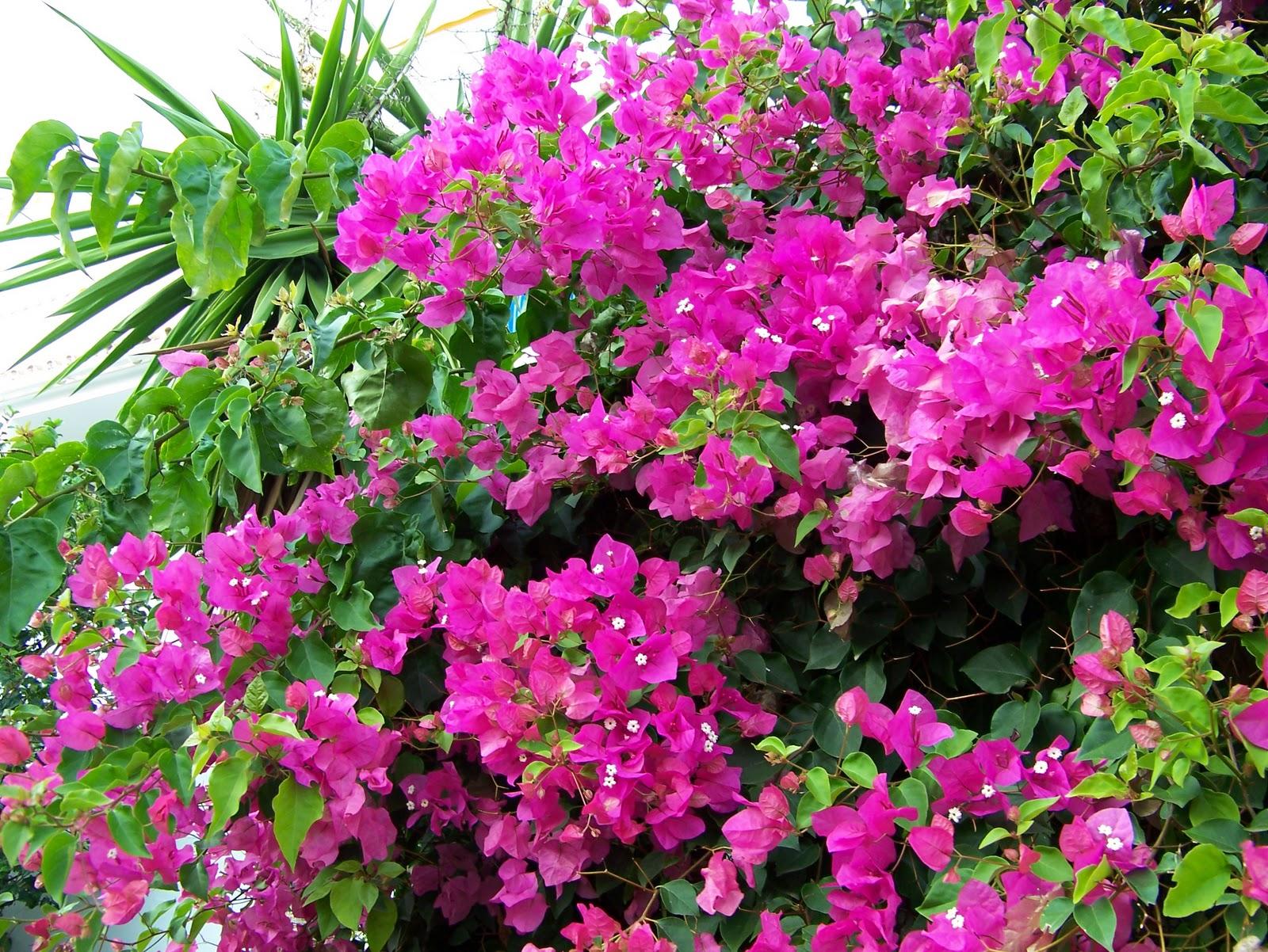 Cuidados de la buganvilla plantas y flores - Fotos de flores de jardin ...