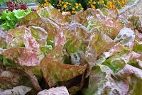 Merveille de Quatre Saisons butterhead late season lettuce