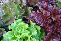summer bouquet lettuce seeds