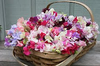 fragrant sweetpeas are a cool season flower