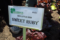 sweet ruby lettuce