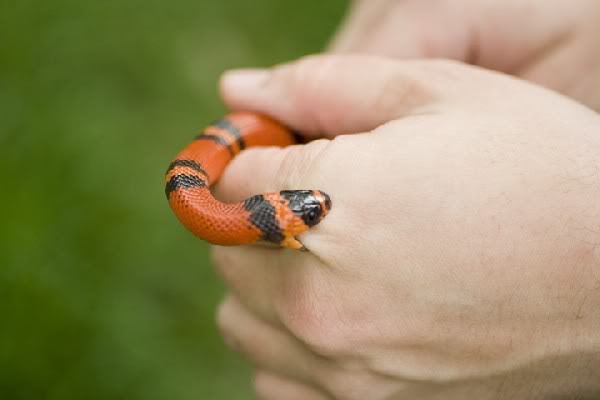 Image result for small snake biting someone's hand
