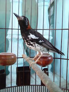umumnya anis kembang yang dipelihara adalah burung yang berjenis kelamin jantan Ciri-Ciri Anis Kembang Jantan dan Betina