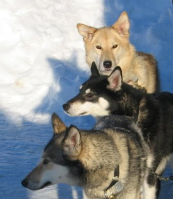 dog pictures sexy alaskan husky in ice three 3 alaskan dogs standing picture free download picture gallery of dogs breed alaskan wallpapers