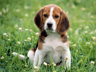 Innocent Beagle puppy looking in the garden nature hd(hq) wallpaper