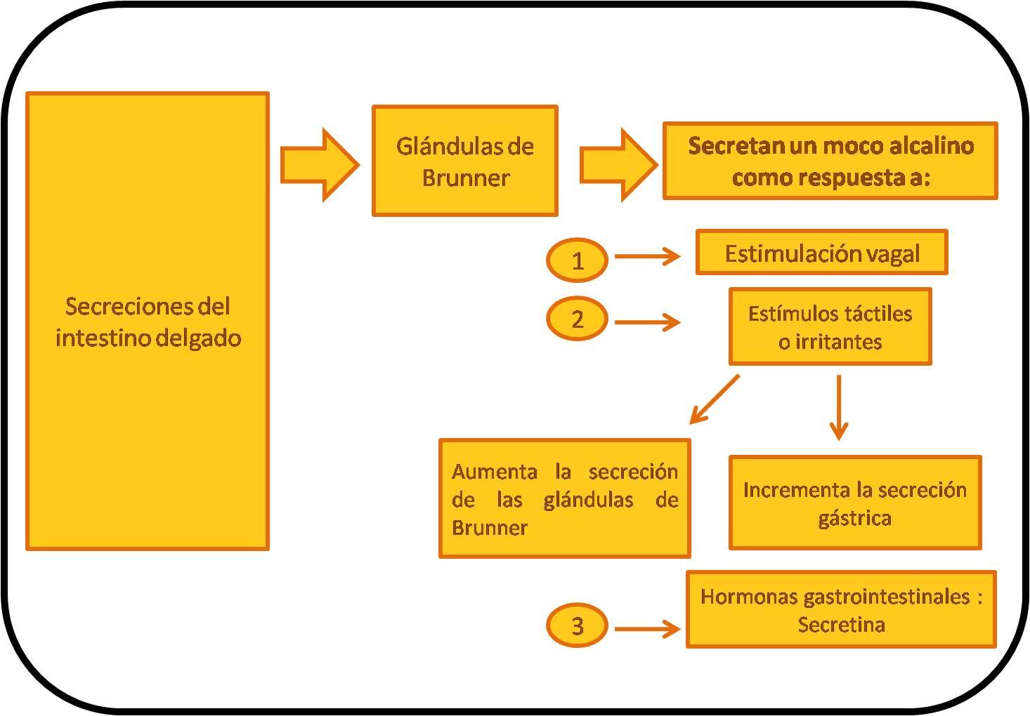 Lujo Diagrama De Los Intestinos Imagen - Anatomía de Las Imágenesdel ...