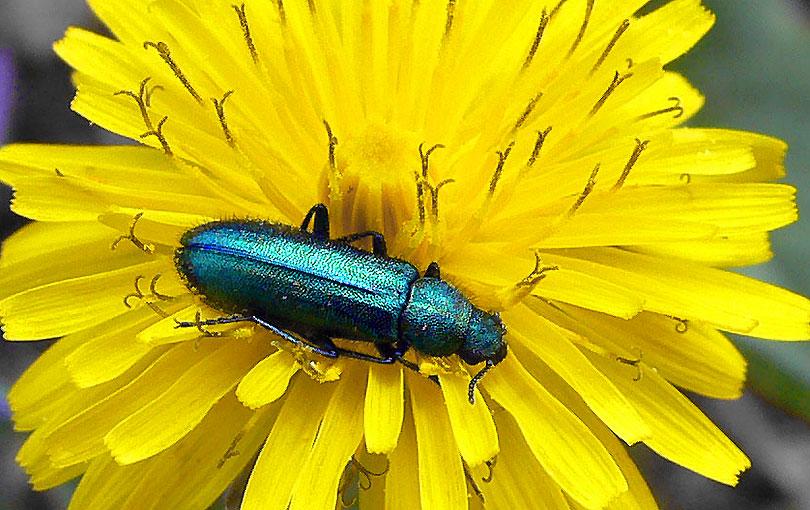 cantàrida vegicatòria o mosca d'espanya (litta vesicatoria)