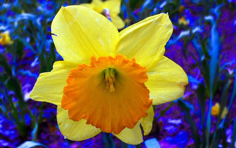 narcissus narcis narciso flor flower natura naturaleza planta amarillo groc yellow