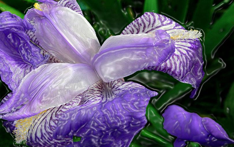 lliri iris lirio lily blau azul blue morado morat purple flor flower natura naturaleza