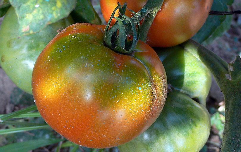 tomaquet tomata tomato hort huerto vegetable garden vermell rojo red mata matoll amanida ensalada
