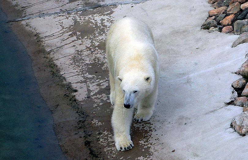 os oso polar ranua reserva zoologica zoo zoologico bear zoological reserve finlandia finland