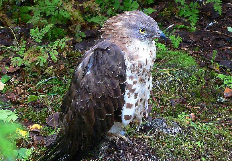 rough-legged hawk aligot calçat ratonero calzado buteo lagopus halcon falco ranua ave au rapaz rapinyaire