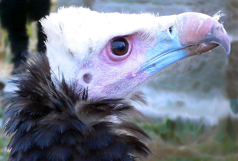 voltor negre buitre negro aegypius monachus black vulture