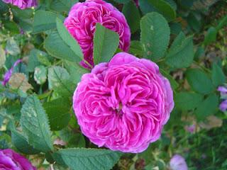 heirloom rose