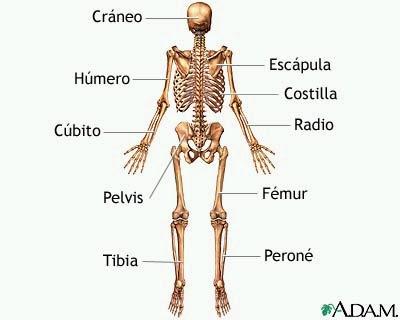 ANATOMIA: Esqueleto