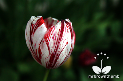 tulip breaking virus