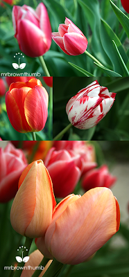cheap tulips, spring garden bulbs