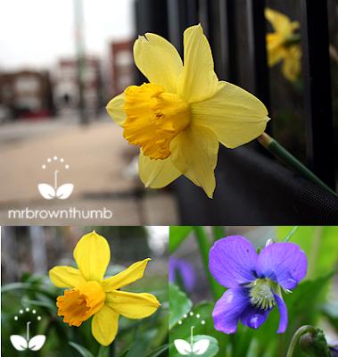 spring garden bulbs, daffodils, wild violet