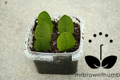 zz plant leafs potted in container for propagation