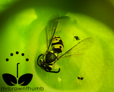 Carnivorous Pitcher Plant eating Yellow Jacket