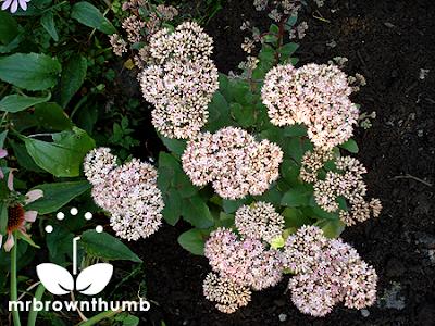 Perennial Garden Sedum
