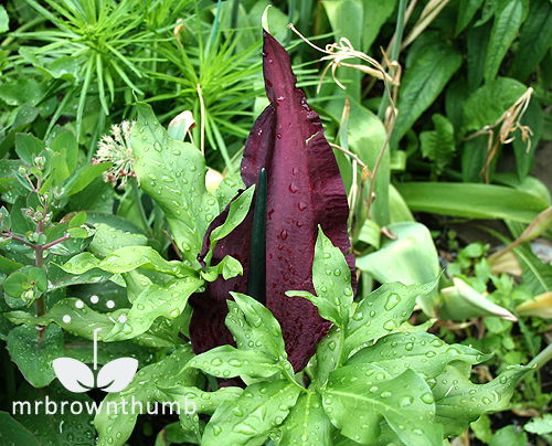 voodoo lily dracunculus vulgaris mrbrownthumb. Black Bedroom Furniture Sets. Home Design Ideas