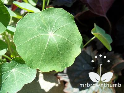 Nasturtium foliage
