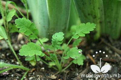 Papaver rhoeas L. Corn Poppy, Flanders poppy seedling