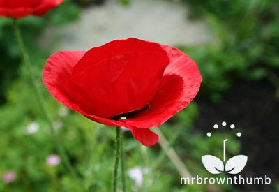 Flanders red poppy flower