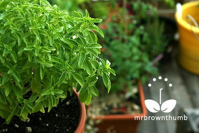 windowbox basil growing in small garden pot