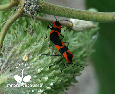 Red and black milkweed bugs mating, Large Milkweed Bug, Oncopeltus fasciatus