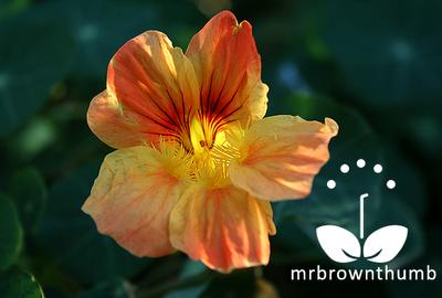 Creamsicle Nasturtium, mounding pink-orange nasturtium