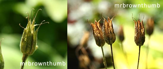 Columbine plant seed pods