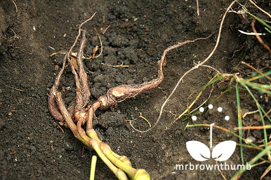 Planting Four o'clock flower tubers. Mirabilis jalapa, marvel of Peru tubers
