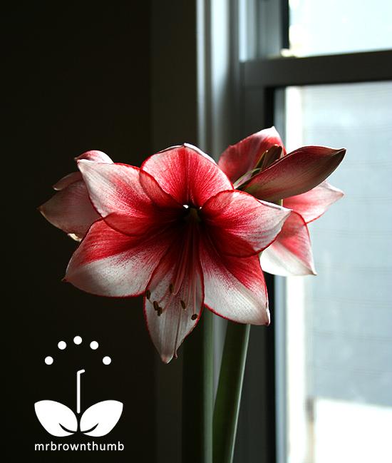 Amaryllis 'Charisma' Hippeastrum, Indoors