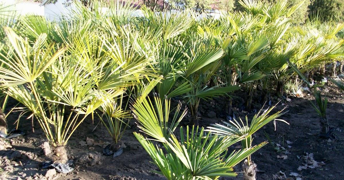 Producci n de palmeras en el vivero municipal foxdll for Produccion de viveros