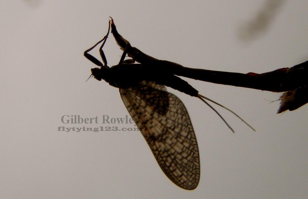 Gilwire Fly Fishing Entomology