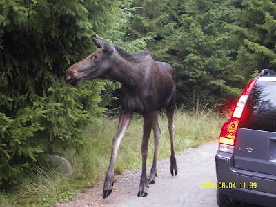 I Tisdags var vi på Markaryds älg och bison safari 43d505424a97c