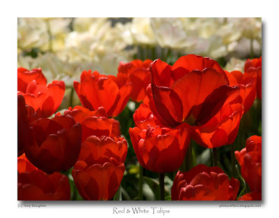 Blood red tulips