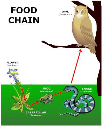 EXAMPLE OF FOOD CHAIN