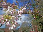 セーラム 桜祭り