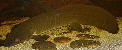 250px-Australian-Lungfish.jpg