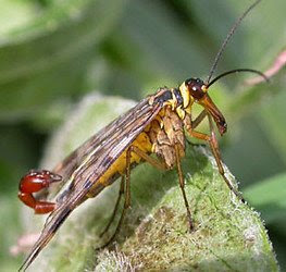 Panorpa_vulgaris.250a.jpg