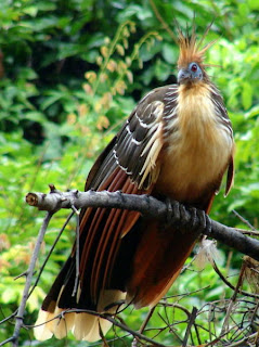 1646330-Hoatzin-Tropic-Bird--Bolivian-Amazon-4.jpg