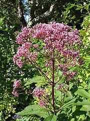 180px-Eutrochium_purpureum1b.UME.jpg